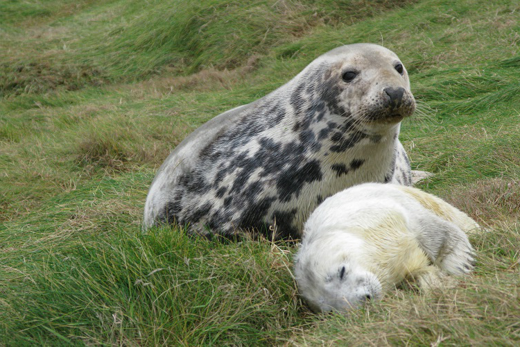 seal-mother-and-day-old-pup